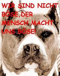 american pit bull terrier zucht prodomo zucht