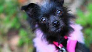 affenpinscher terrier mix 14 ridiculously cute chihuahua mixes you have to see to believe