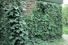 kletterpflanzen fã r balkon grune kletterpflanzen 1 4 grune kletterpflanzen balkon