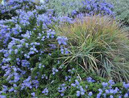 california native plant list ceanothus u0027joyce coulter u0027 and canyon prince giant wild rye u2026 flickr