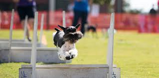state with most dog owners 2016 26th annual nc state veterinary medicine dog olympics