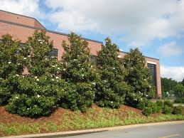 surprising evergreen privacy hedge 26 for decor inspiration with