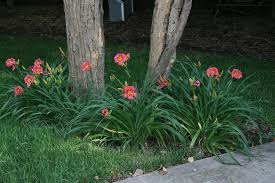 daylilies for sale daylilies day day lilies daylilies for sale tiger lilies