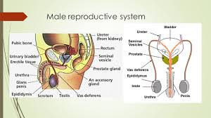 Male External Anatomy How Female Reproductive System Works External Anatomy Of The