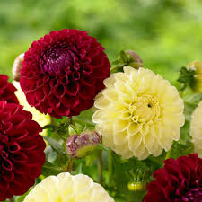 dahlias flowers your dahlias flower styles and sizes longfield gardens