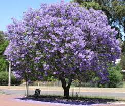 tree with purple flowers jacaranda tree 4 of them in my back yard right now can t wait