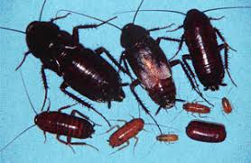How To Get Rid Of Roaches In The Bathroom How To Get Rid Of Oriental Roaches Oriental Cockroach Control