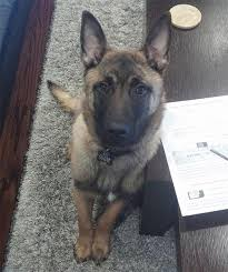 belgian shepherd ears 4 month old bg ears down page 1