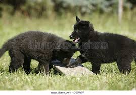 belgian sheepdog groenendael breeder groenendael stock photos u0026 groenendael stock images alamy