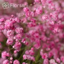 baby s breath wholesale xlence baby s breath