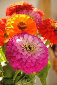 Zinnias Flowers 44 Best Zinnia Flowers Images On Pinterest Zinnias Flower
