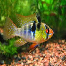 Types Of Aquarium Fish Tropical Fish For Sale In Melbourne Victoria Amazing Amazon