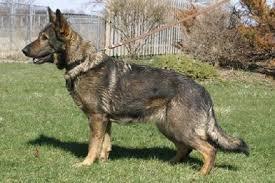 belgian sheepdog vs belgian malinois german shepherd ela at cher car kennels