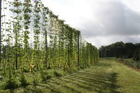 simple hop trellis u2013 outdoor decorations