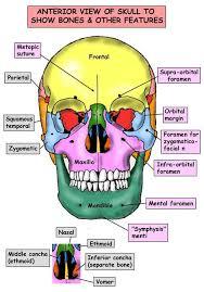 Human Anatomy Skull Bones Anatomy And Physiology Nursing Mnemonics U0026 Tips Nursing
