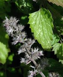 Catnip Flower - catnip nepeta cataria flowers naturegate