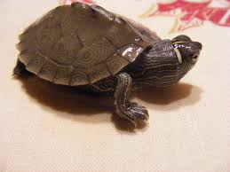 Texas Map Turtle False Map Turtle Graptemys Pseudogeographica Inaturalist Org