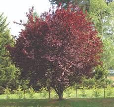 arbuste feuillage pourpre persistant prunus cerasifera u0027nigra u0027 common name u2013 flowering plum 305mm pot