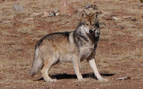 New Mexico wild animals images Mexican wolf mexican gray wolf at the sevilleta wolf management jpg