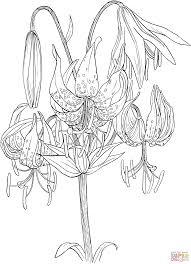 lilium superbum or turk u0027s cap lily coloring page free printable
