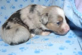 3 week old australian shepherd puppy piper and eli u0027s puppies kicks and giggles mini aussies