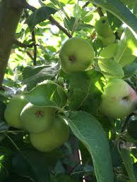 when is the best time to replace fruit trees poppy corners farm