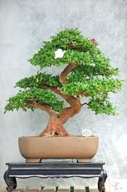 indoor bonsai tree how to grow a bonsai tree indoors landscape