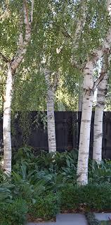 silver birch trees in melbourne bulleen garden