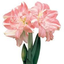 Amaryllis Flowers Southern Hemisphere Amaryllis Bulbs Southern Hemisphere