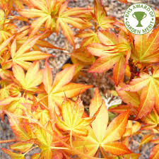 acer palmatum katsura japanese maple tree buy maple tree