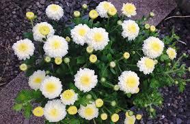 wshg net garden chrysanthemums u2014 colorful hardy flowers
