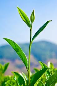 Seeking Tea Seeking Tea Education T Ching