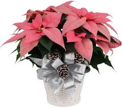 pink poinsettia christmas plants u0026 poinsettias canada flowers ca