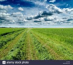 clover shamrock field freshly mowed stock photo royalty free