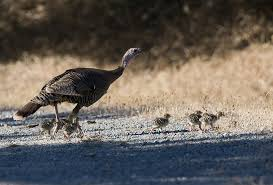 New Jersey wildlife images Endangered new jersey new jersey wild turkey population increasing jpg
