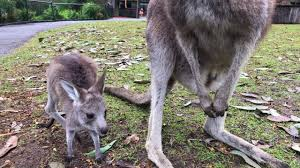 kangaroo joey takes first hops youtube