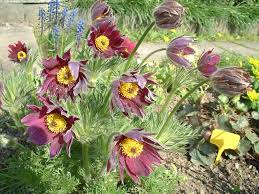 Flower Of The Month Flower Of The Month Pasque Flower Julia Dimakos