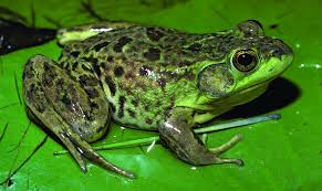 inspiring picture of frog cool and best ideas 8620 unknown