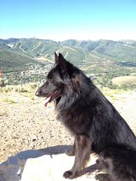 belgian sheepdog national specialty obsidian belgian sheepdogs a litter