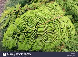 spain canary islands tenerife mexican tree fern cibotium stock