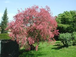 the native plant centre tamarix tetrandra tamarisk tree never plant this tree in