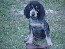 bluetick coonhound puppies joplin mo my favorite hounds are red ticks coon hounds this one isn u0027t mine