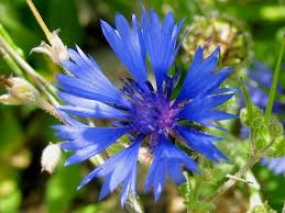 44 best blue flowers images on pinterest blue flowers flower