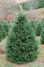fraser fir tree six to seven foot premium fraser fir tree clements christmas trees