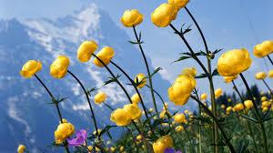 Beautiful Flowers Image 25 Free Hd Flowers Wallpapers