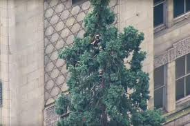 climbs up 80 foot sequoia tree in downtown seattle ny daily news