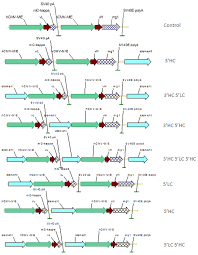 heavy chain light chain fig 1 configuration of immunoglobulin heavy chain hc and light