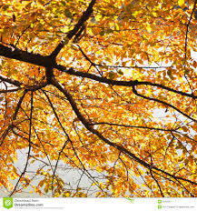 in fall fall elm tree royalty free stock photos image 3478248