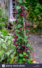 rhodochiton atrosanguineus purple bell vine vines climber creeper