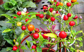 flowers shape chili cherry ornamental colorful pepper vegetables